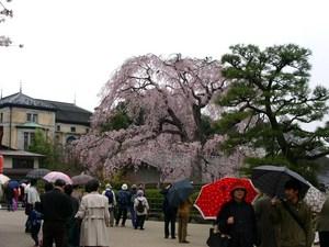 円山公園しだれ桜1.jpg