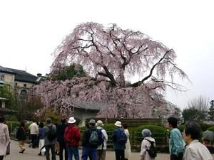 円山公園しだれ桜11.jpg